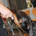 Policia Local -Unitat Canina  Gos Duc 04