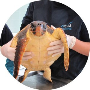 tortugas-marinas-recuperacion-300x300