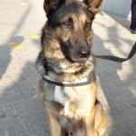 gos unitat caninca policia local sab