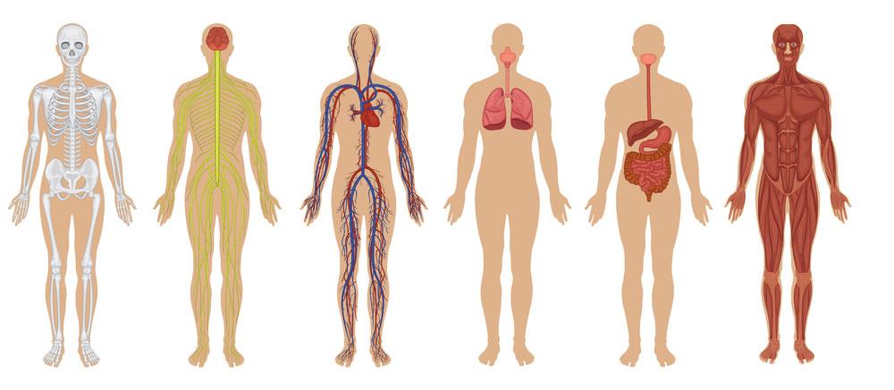 human-body-
